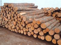 SPRUCE TIMBERS (LAT. PICEA...