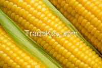 Fresh Corn Yellow Corn &amp...