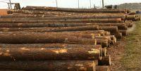 radiate pine logs yellow pi...